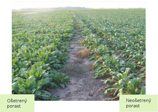 Porovnanie ošetrenéo a neošetreného porastu repy