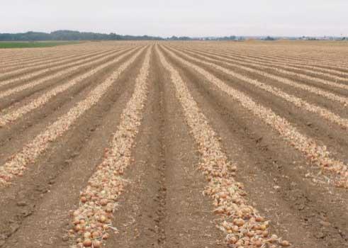 Vyorané zemiaky
