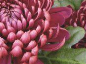 Hakofyt B - chryzantémy
